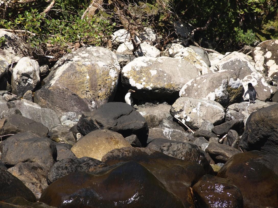 Kaum zu erkennen: Gelbaugenpinguine tummeln sich zwischen den Felsen im Milford Sound
