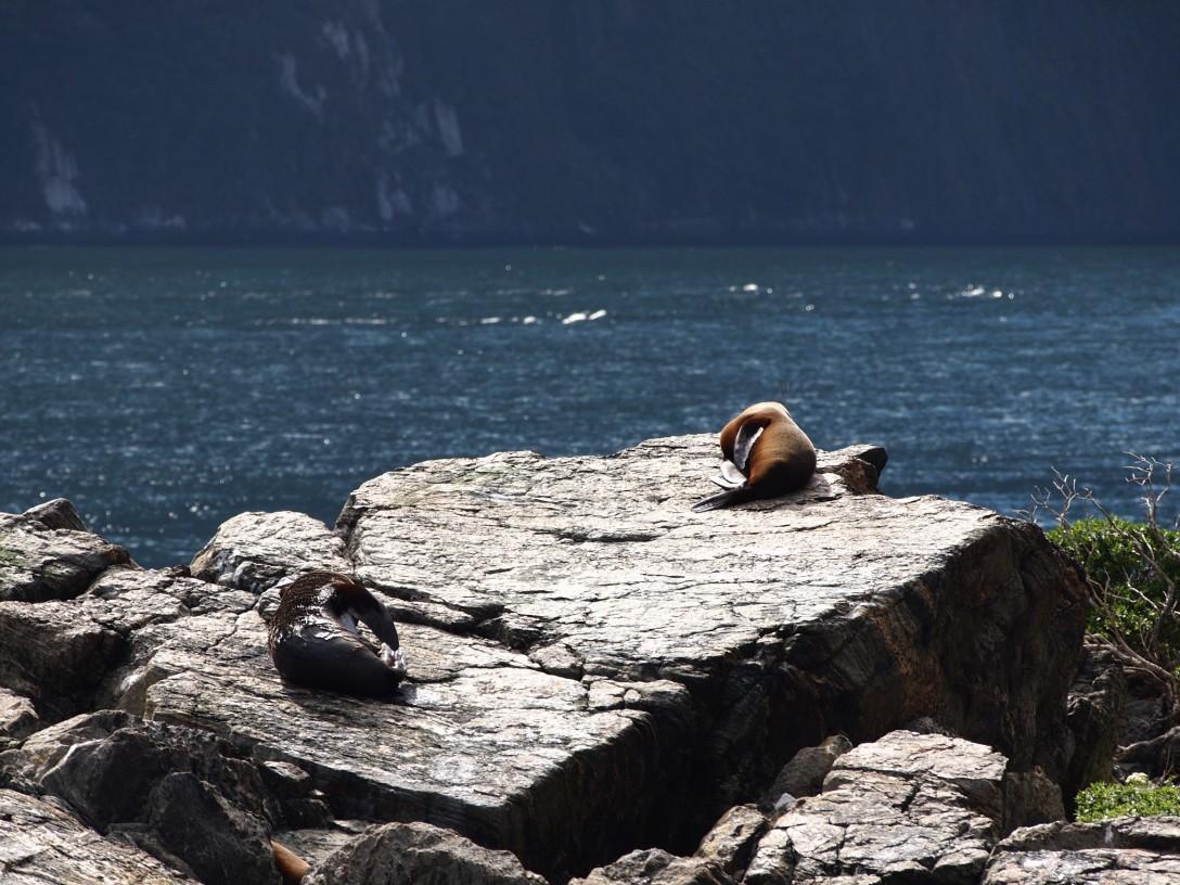 Lassen sich von der Sonne verwöhnen: Robben im Milford Sound