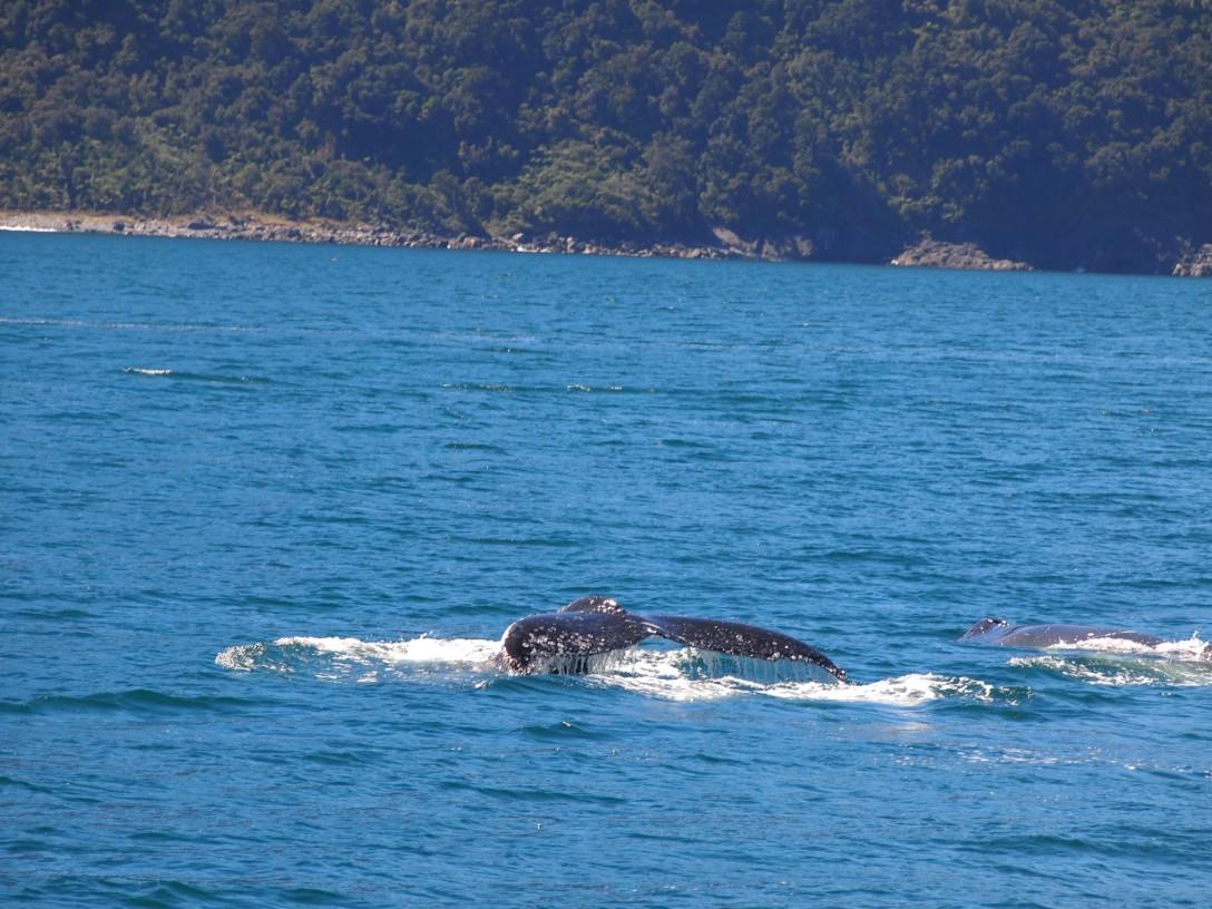 Auch Wale sind mit etwas Glück im Milford Sound zu sehen